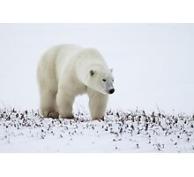 Polar Bear On The Prowl. Churchill, Canada Photographic Print
