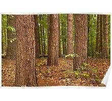 Pine Pine Pine Everywhere © Poster