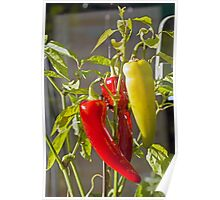 Sweet Banana Peppers in Greenhouse Poster
