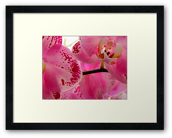 Pink Orchids      ^ by ctheworld