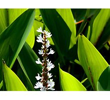 Lily-of-the-valley Photographic Print