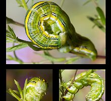 The Asteroid Moth Caterpillar by DigitallyStill