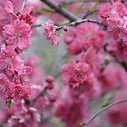 Sakura by Jessica Fittock