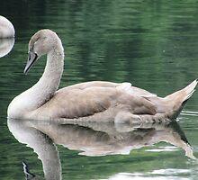 Baby signet swan by TinaLouiseUk