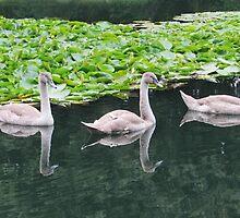 Three signet swans by TinaLouiseUk