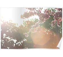 Cherry Blossoms in the Sunlight Poster