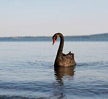 Black Swan by lorenzoviolone