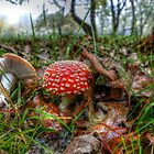 Fly Agaric or Fly Amanita by Charles & Patricia   Harkins ~ Picture Oregon
