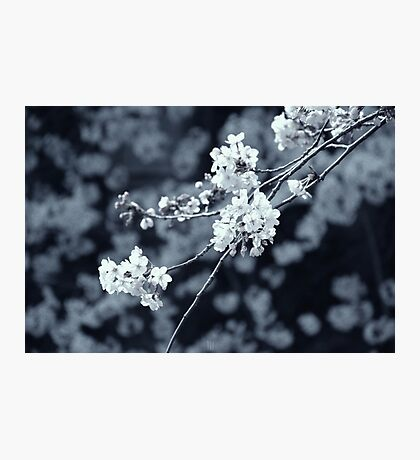 The Sum of Cherry Blossoms Photographic Print