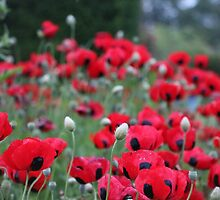 Poppies! by 5WaysToHuntly