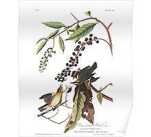 Worm-eating Warbler - John James Audubon Poster