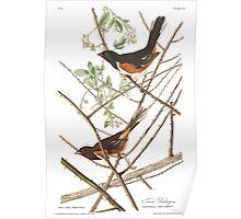 Eastern Towhee - John James Audubon  Poster