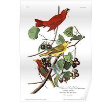 Summer Tanager - John James Audubon Poster