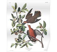 Zenaida Dove - John James Audubon  Poster