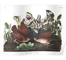 Key West Quail-dove - John James Audubon Poster