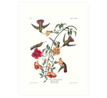 Mango Hummingbird - John James Audubon Art Print