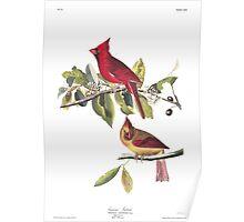 Northern Cardinal - John James Audubon  Poster