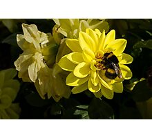 The Busy Bumble Photographic Print