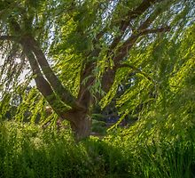 Windy Willow by naturesimagesBD