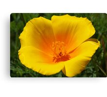 Big Poppy Flower Golden Orange Yellow Silky Canvas Print