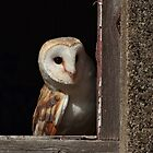 Barn Owl by Brian Avery