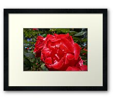 Big Red Rose Flower Art Print gifts Roses Garden Framed Print
