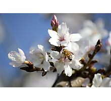 Bee in the Blossoms Photographic Print
