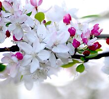 Apple Blossoms by Jessica Fittock