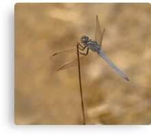 Male scarce chaser reversed Metal Print