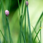 Onion Chives by rom01