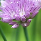 Onion Chive Flower by rom01