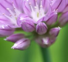 Onion Chive Flower Sticker