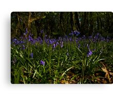 Bluebells in Prehen Woods Canvas Print