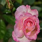 Pale Pink Rose Leith Park Victoria 20161017 7651  by Fred Mitchell