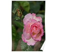 Pale Pink Rose Leith Park Victoria 20161017 7651  Poster