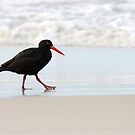 Sooty Oystercatcher by mncphotography