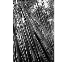 The Bamboo Forest B&W  Photographic Print