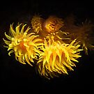 Yellow Solitary Coral by James Deverich