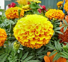 Marigolds Glory by Keala