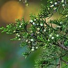 Cedar Berries by Rick  Friedle