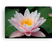 water lily over green leafs Canvas Print