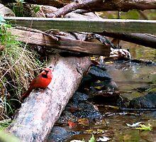 Cardinal  by jenglish58