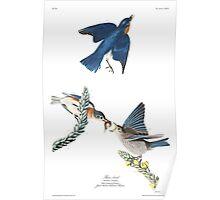 Blue Bird - John James Audubon Poster