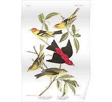 Western and Scarlet Tanager - John James Audubon Poster
