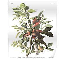 Ground Dove - John James Audubon  Poster
