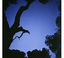 Tree branches in silhouette against blue dusk sky  square medium format film analogue photographs Photographic Print