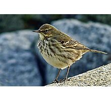 Rock Pipit At Lyme Regis Harbour Photographic Print