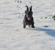Black cocker spaniel in snow by Colin  Baker