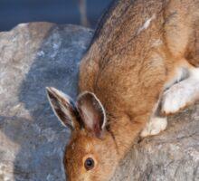 Snowshoe hare (Lepus americanus) in Spring Sticker