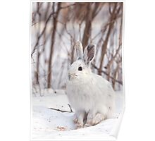 Snowshoe hare (Lepus americanus) in winter Poster